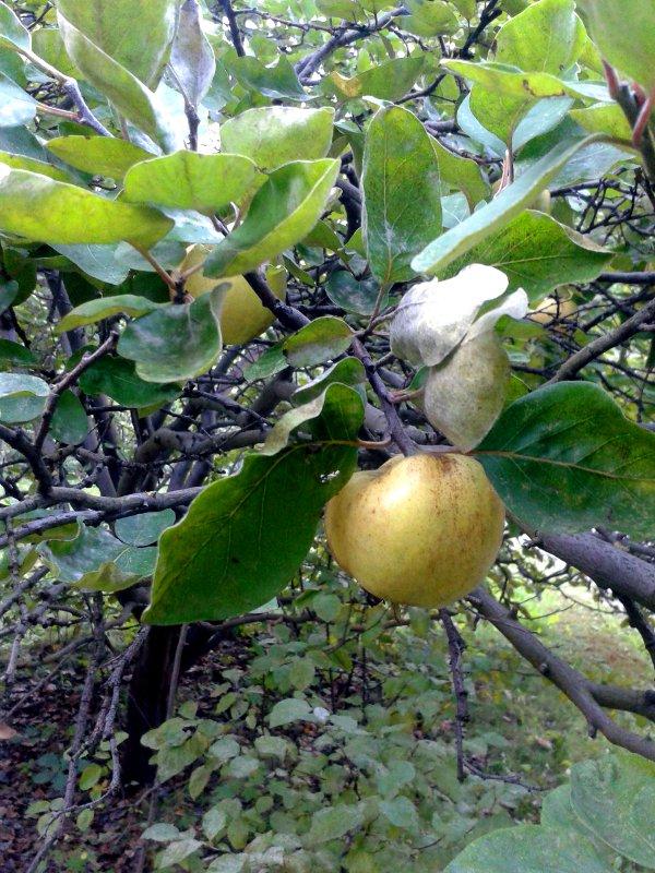 Eine Birne hängt an einem Baum