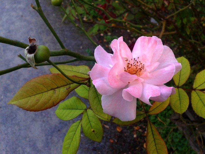 Eine prachtvolle Rose im Garten