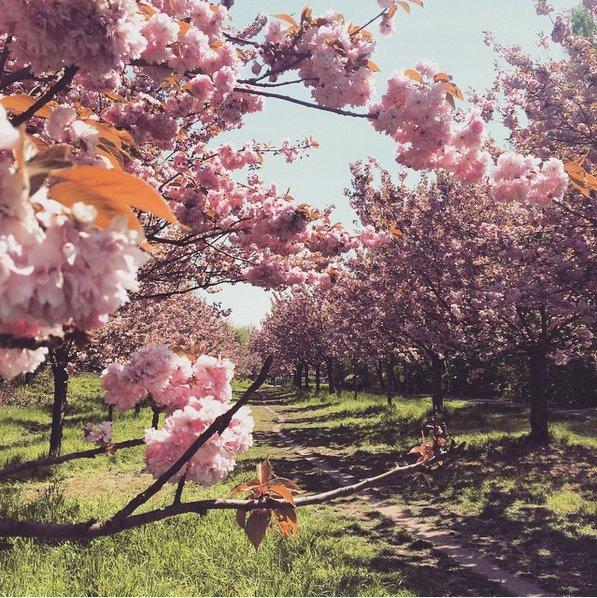 Blühende Kirschbäume auf einer Sonnenwiese