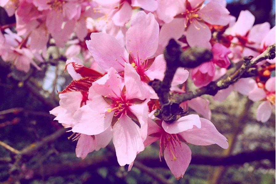 kirschblütenfest-berlin