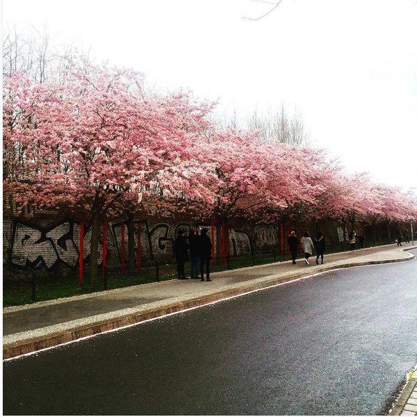 Blühende Kirschbäume vor einer Mauer mit Grafitti