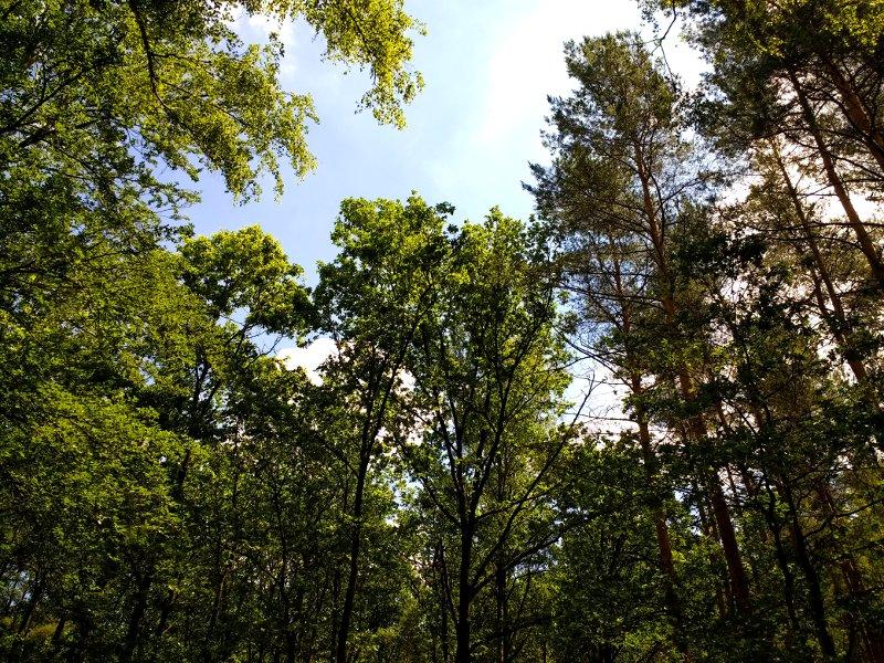 Blick in die Baumkronen einiger Nadelbäume an einem Sommertag