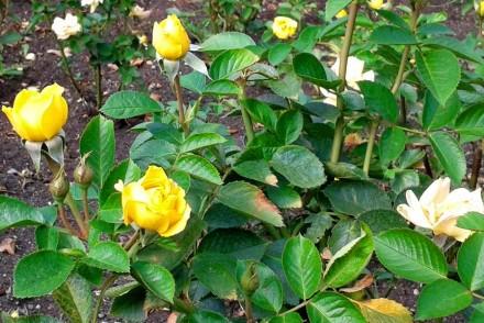 Gelbe Rosen im Rosengarten