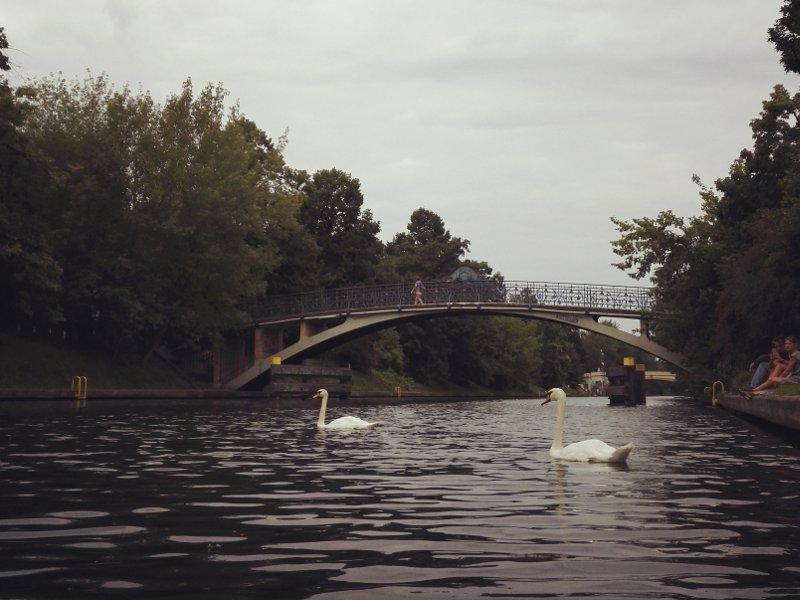 Schwäne in der Dämmerung auf dem Landwehrkanal